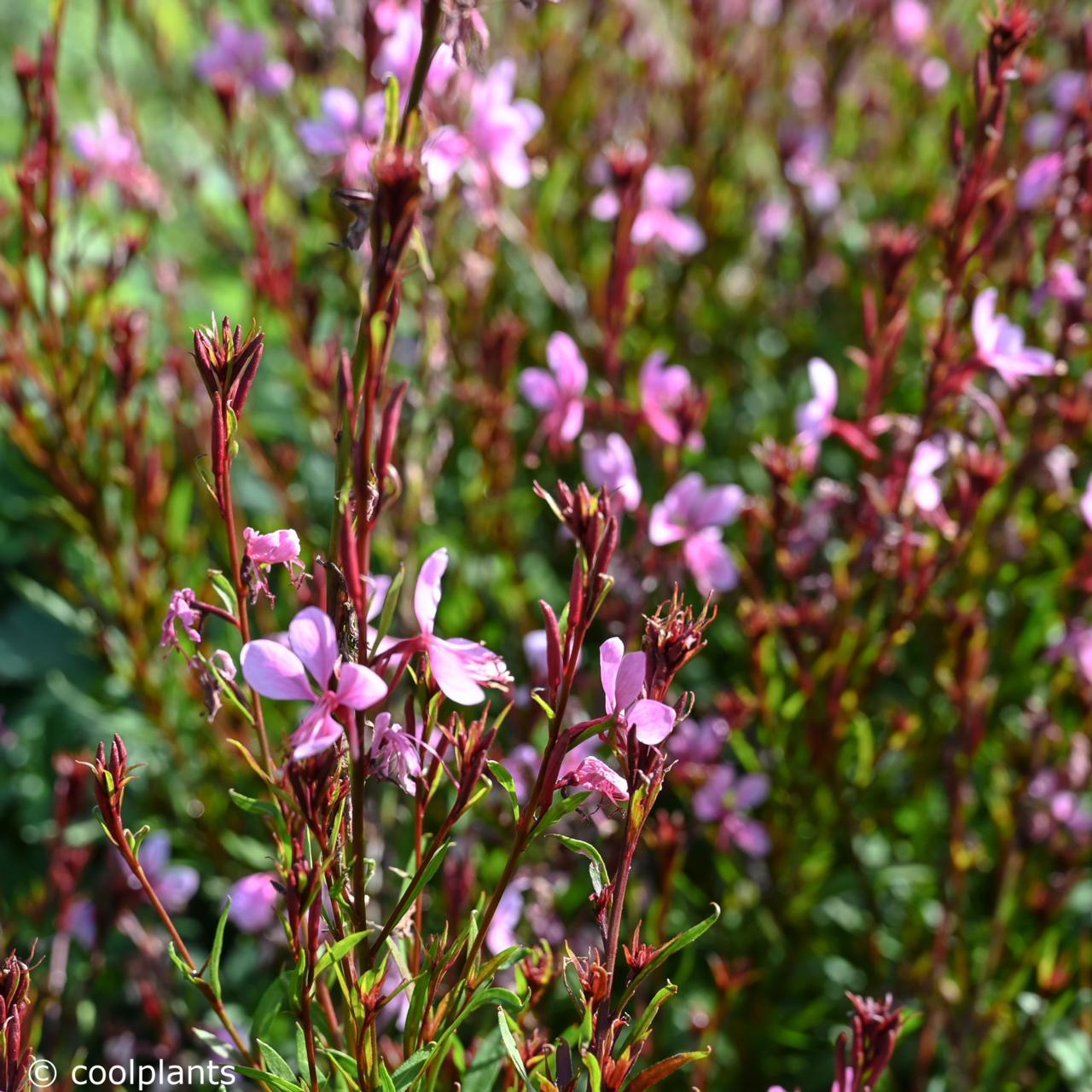 Gaura lindheimeri 'Baby Butterfly Dark Pink' (35252)