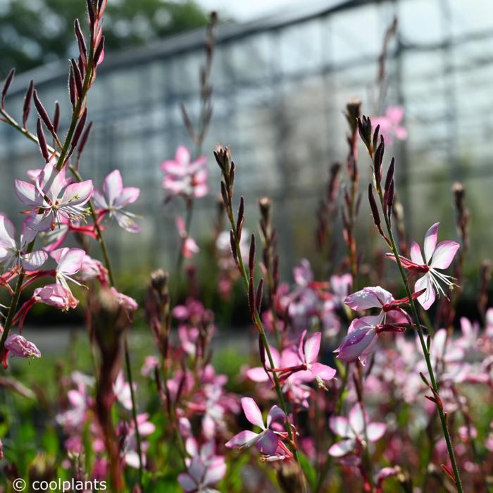 Gaura lindheimeri 'Rosy Jane' plant
