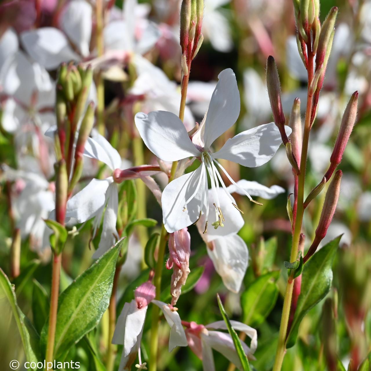 Gaura lindheimeri 'White Dove' plant