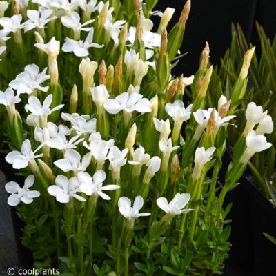 gentiana-verna-alba