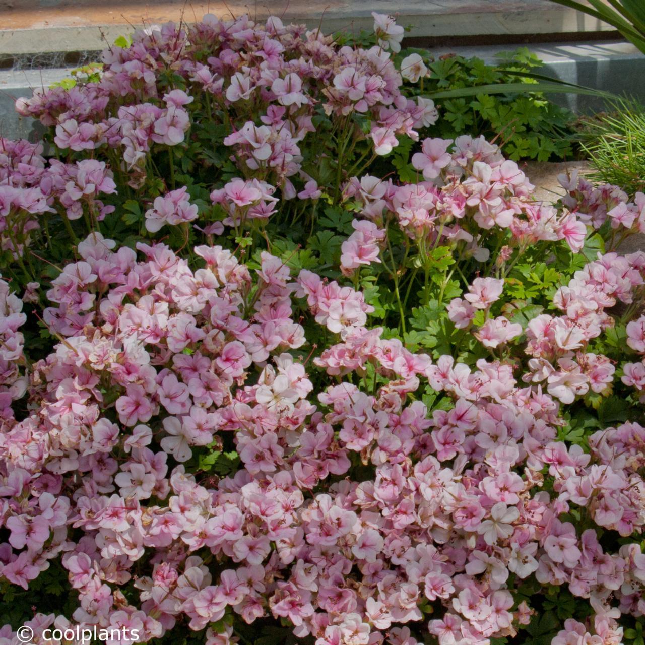 Geranium dalmaticum 'Bridal Bouquet' plant