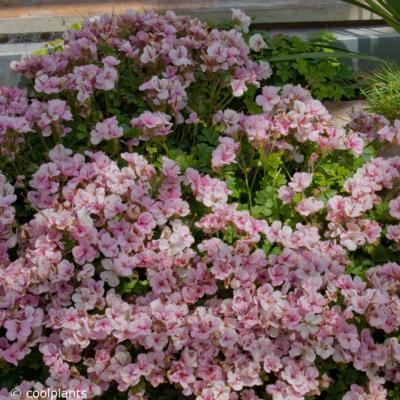 geranium-dalmaticum-bridal-bouquet