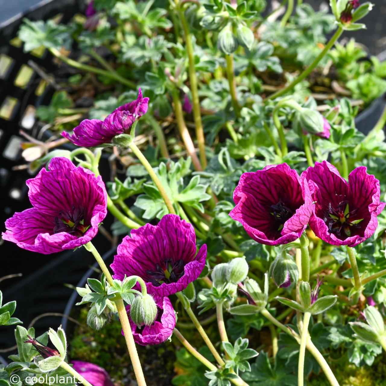 Geranium 'Jolly Jewel Purple' plant