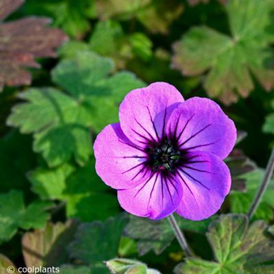 geranium-storm-chaser