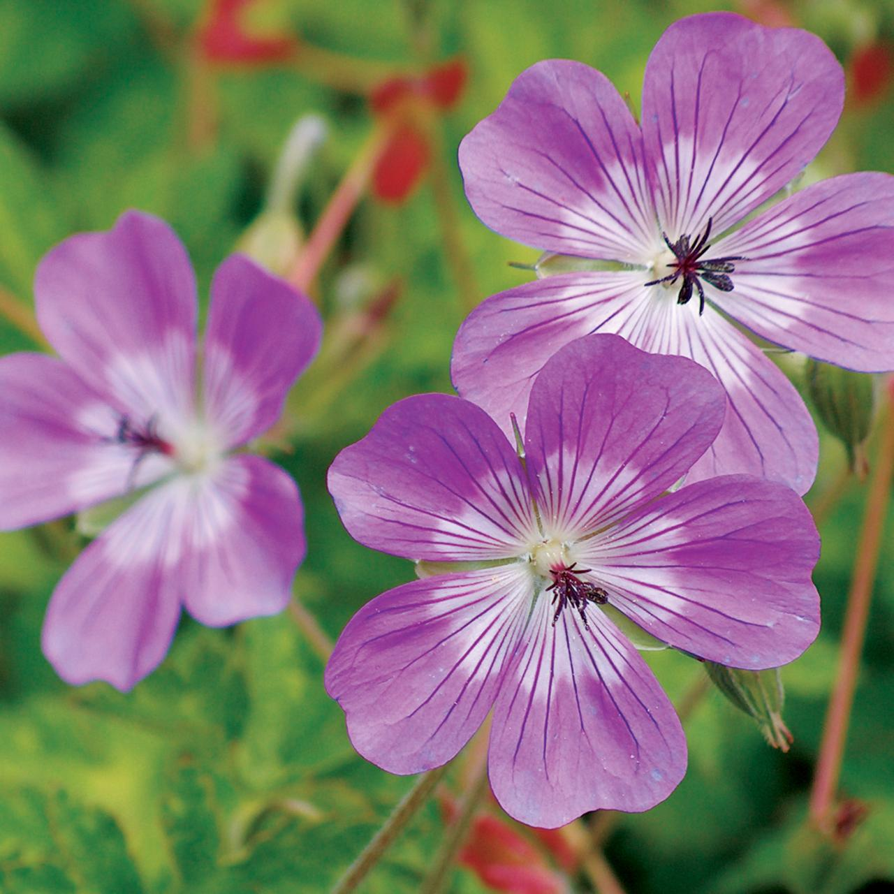Geranium 'Sylvia's Surprise' plant