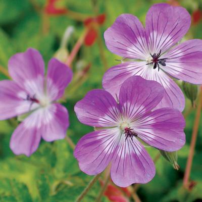 geranium-sylvias-surprise