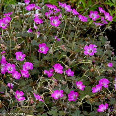 geranium-tanya-rendall