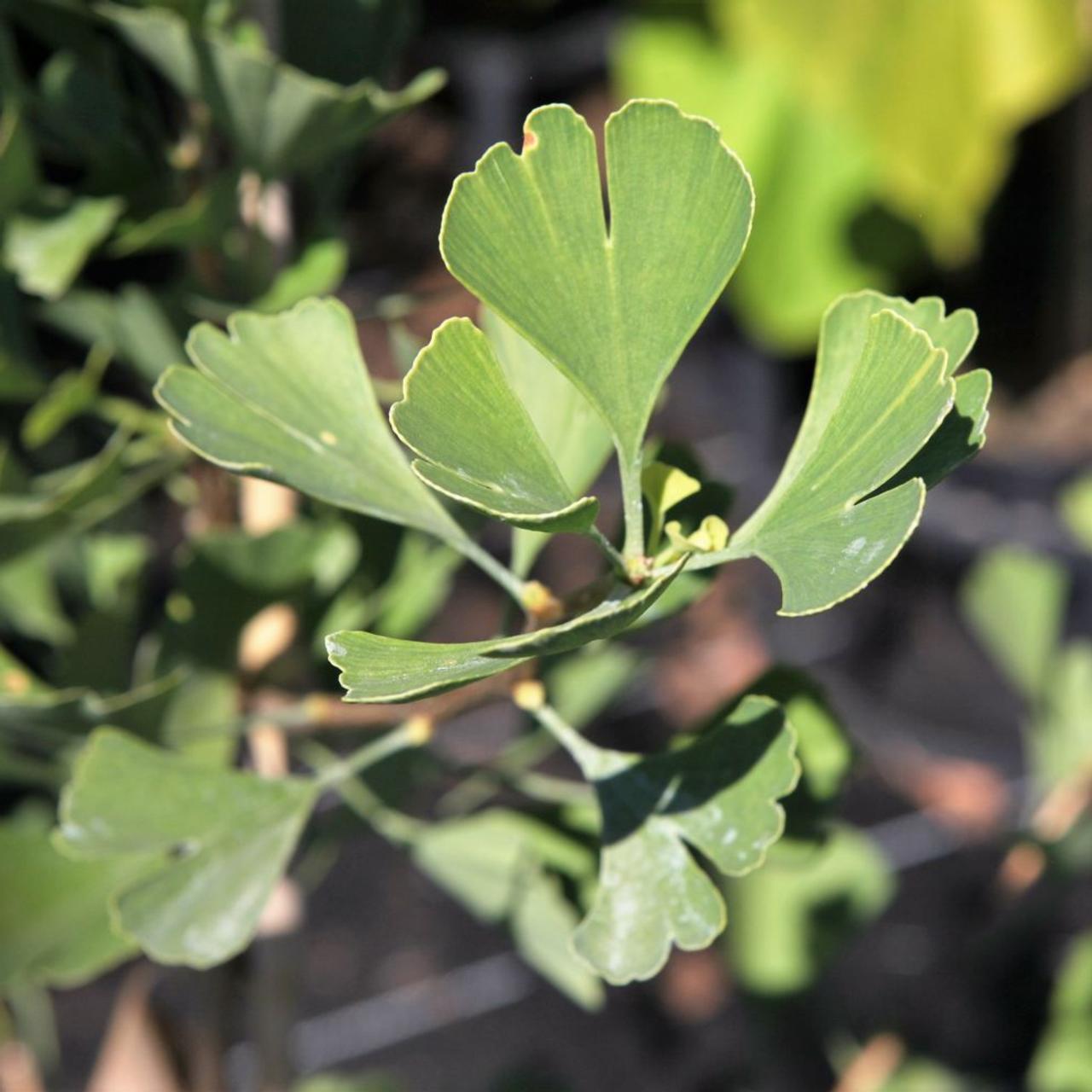 Ginkgo biloba 'Fastigiata Blagon' plant