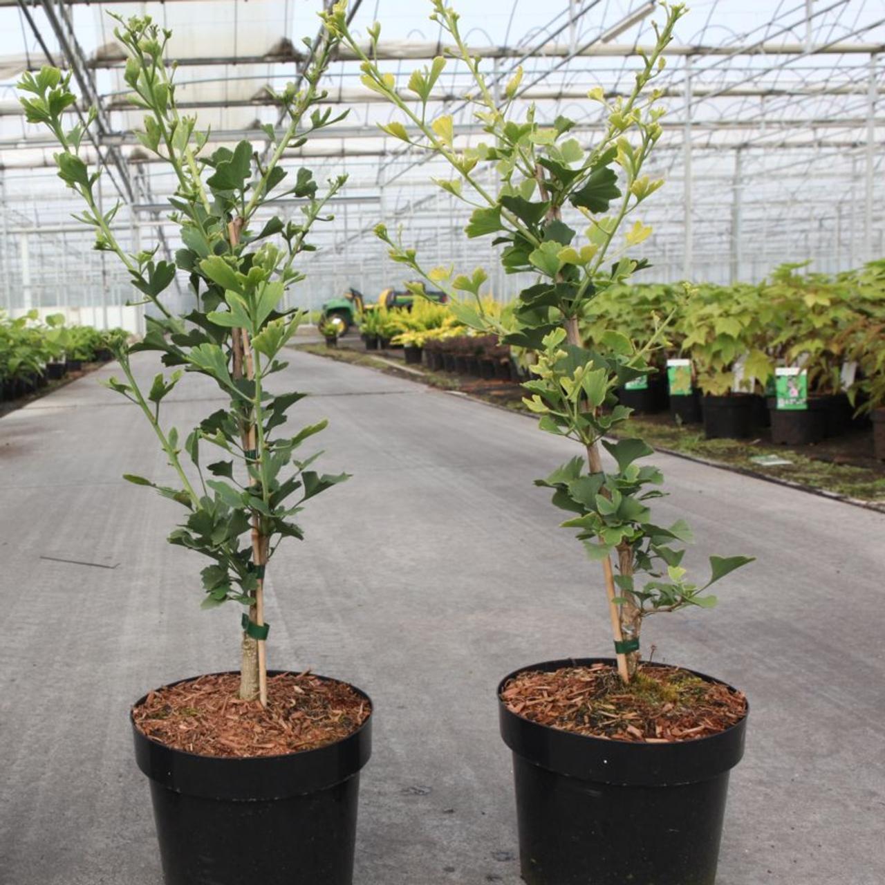 Ginkgo biloba 'Menhir' plant