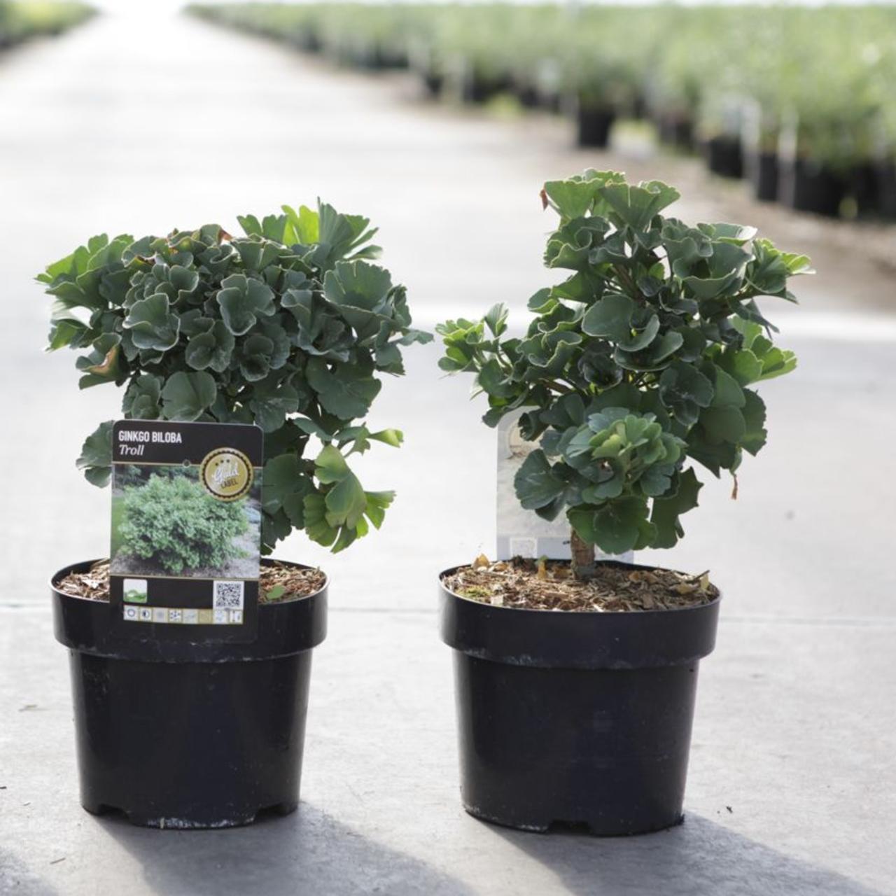 Ginkgo biloba 'Troll' plant