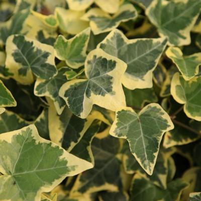 hedera-helix-gold-child