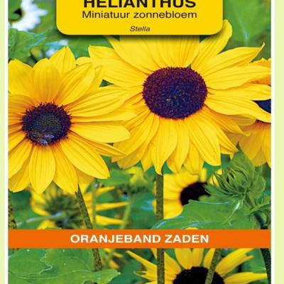 helianthus-debilis-stella
