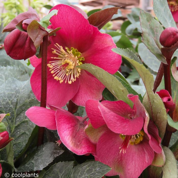 Helleborus 'Anna's Red' plant