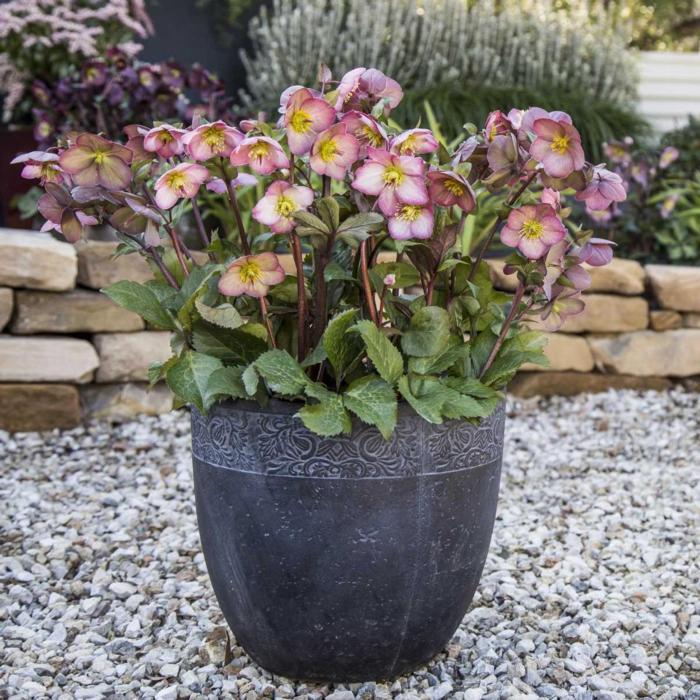 Helleborus 'Cheryl's Shine' plant