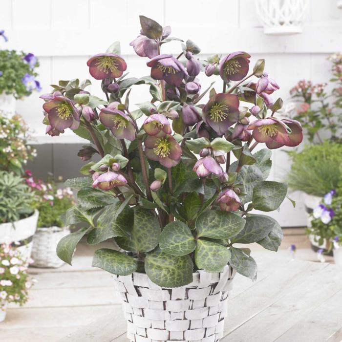 Helleborus 'Dana's Dulcet' plant