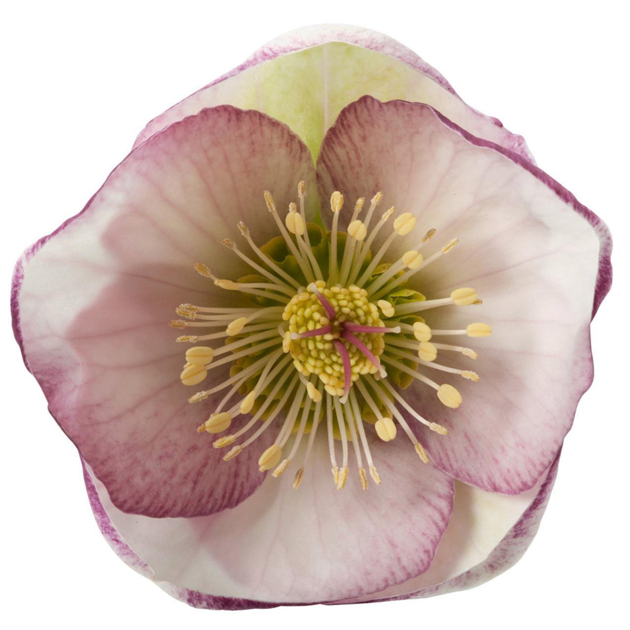 Helleborus 'Glenda's Gloss' plant