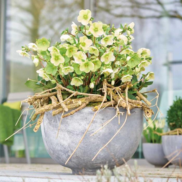 Helleborus 'Molly's White' plant