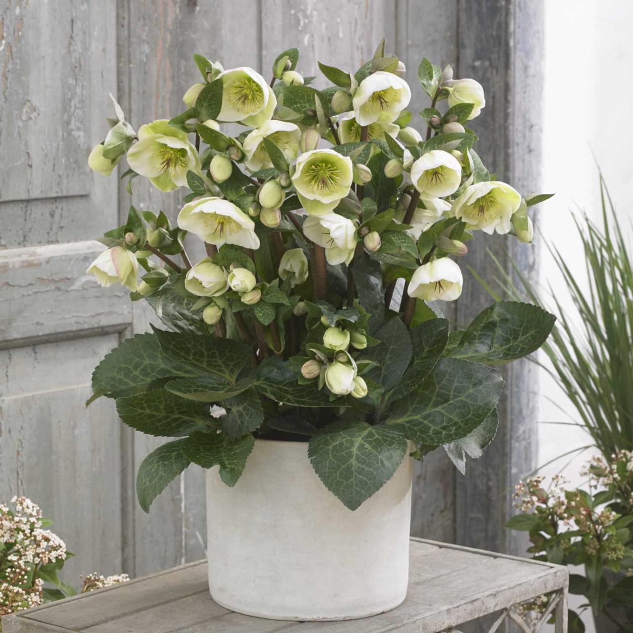 Helleborus 'Moondance' plant