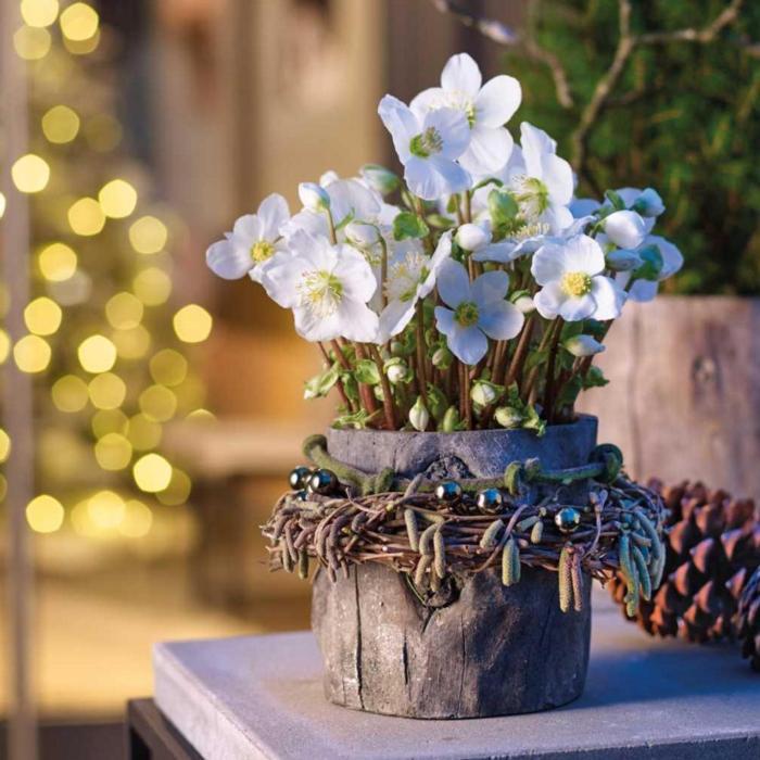 Helleborus niger 'Verboom Beauty' plant