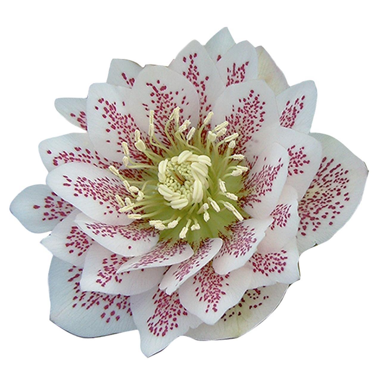 Helleborus orientalis 'Cinderella' plant