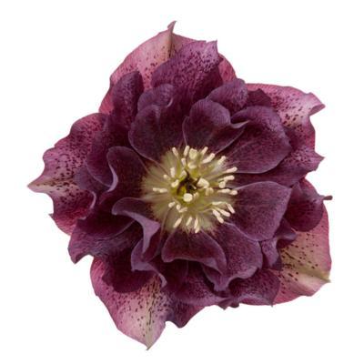 helleborus-orientalis-diana