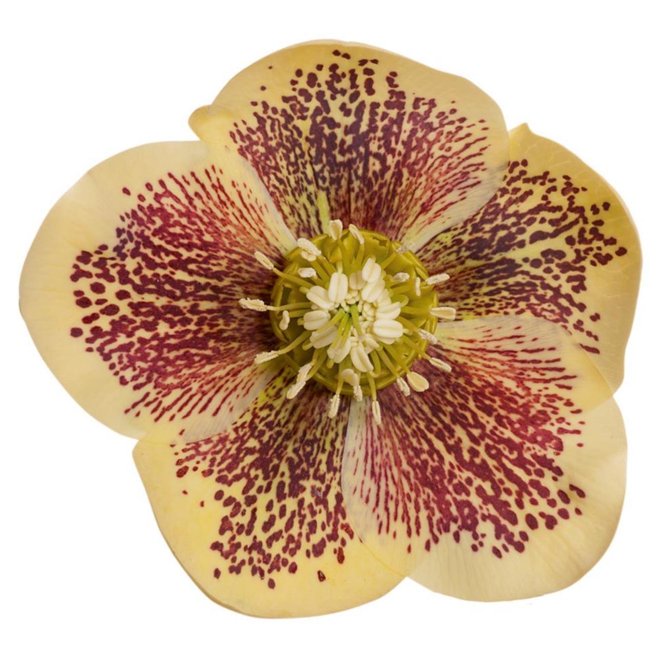 Helleborus orientalis 'Orpa' plant