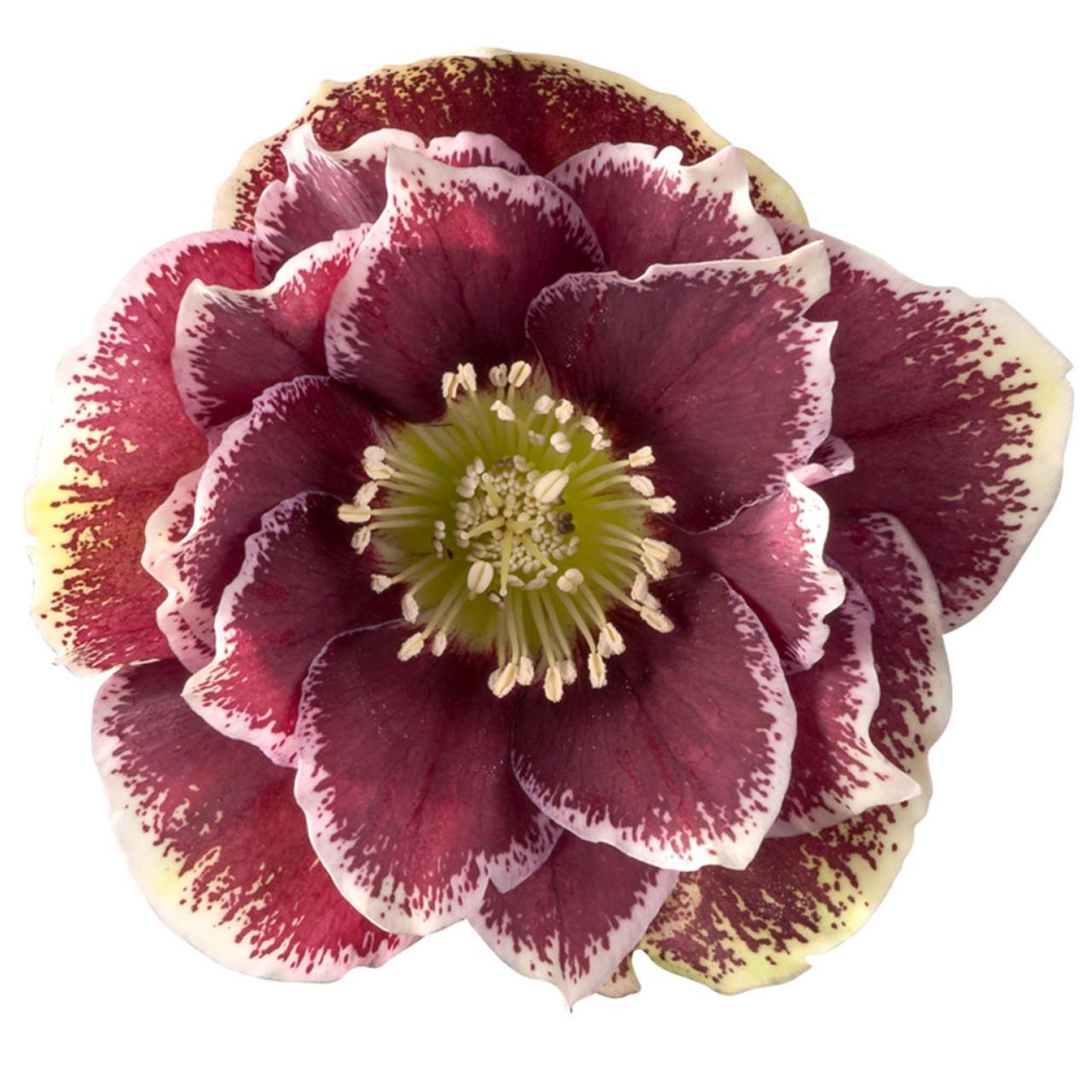 Helleborus orientalis 'Rubina' plant