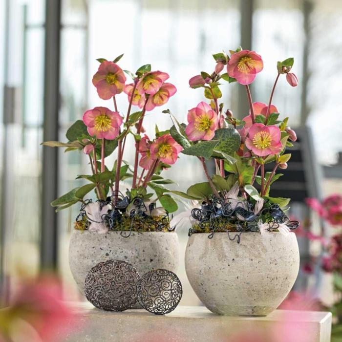 Helleborus 'Penny's Pink' plant