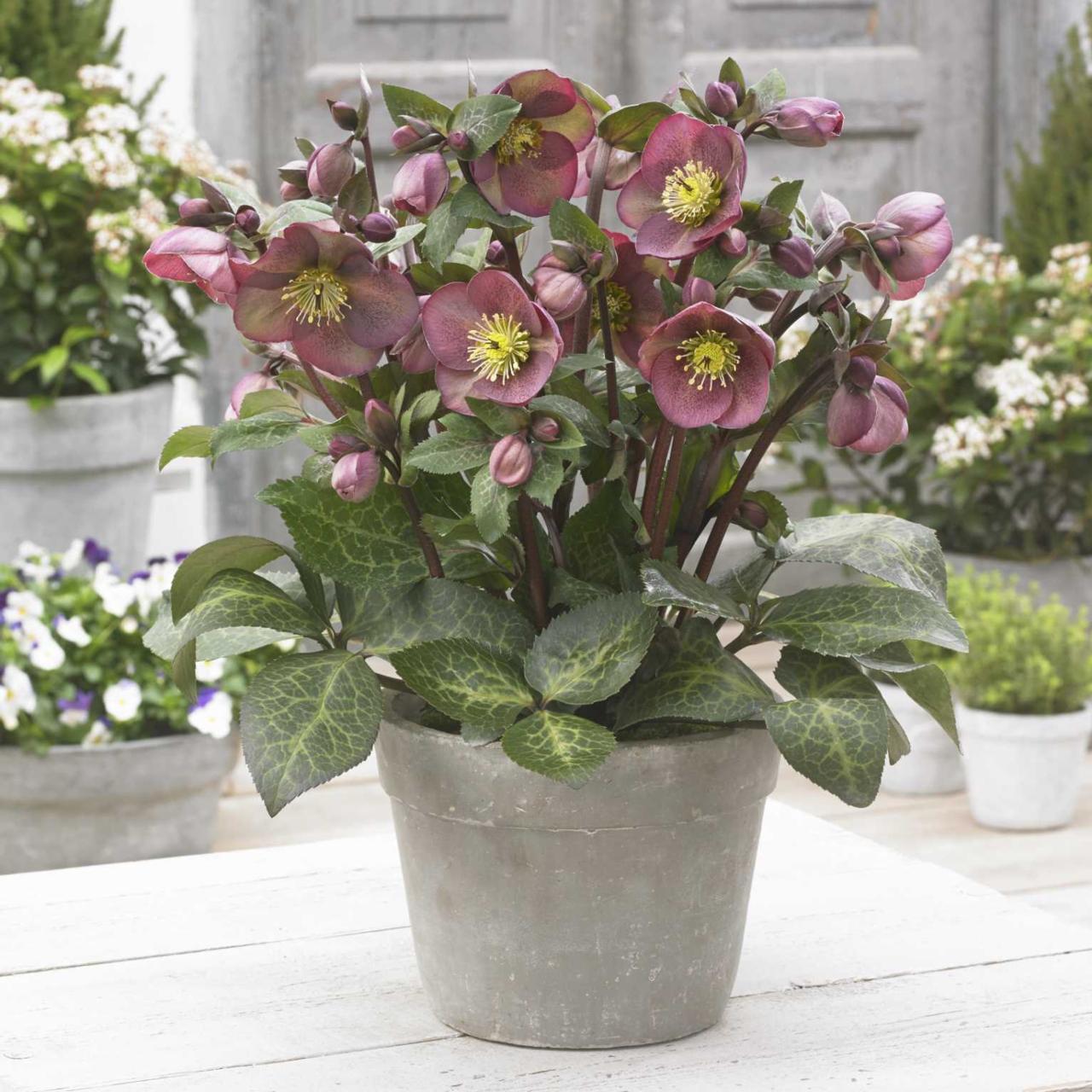 Helleborus 'Pippa?s Purple' plant