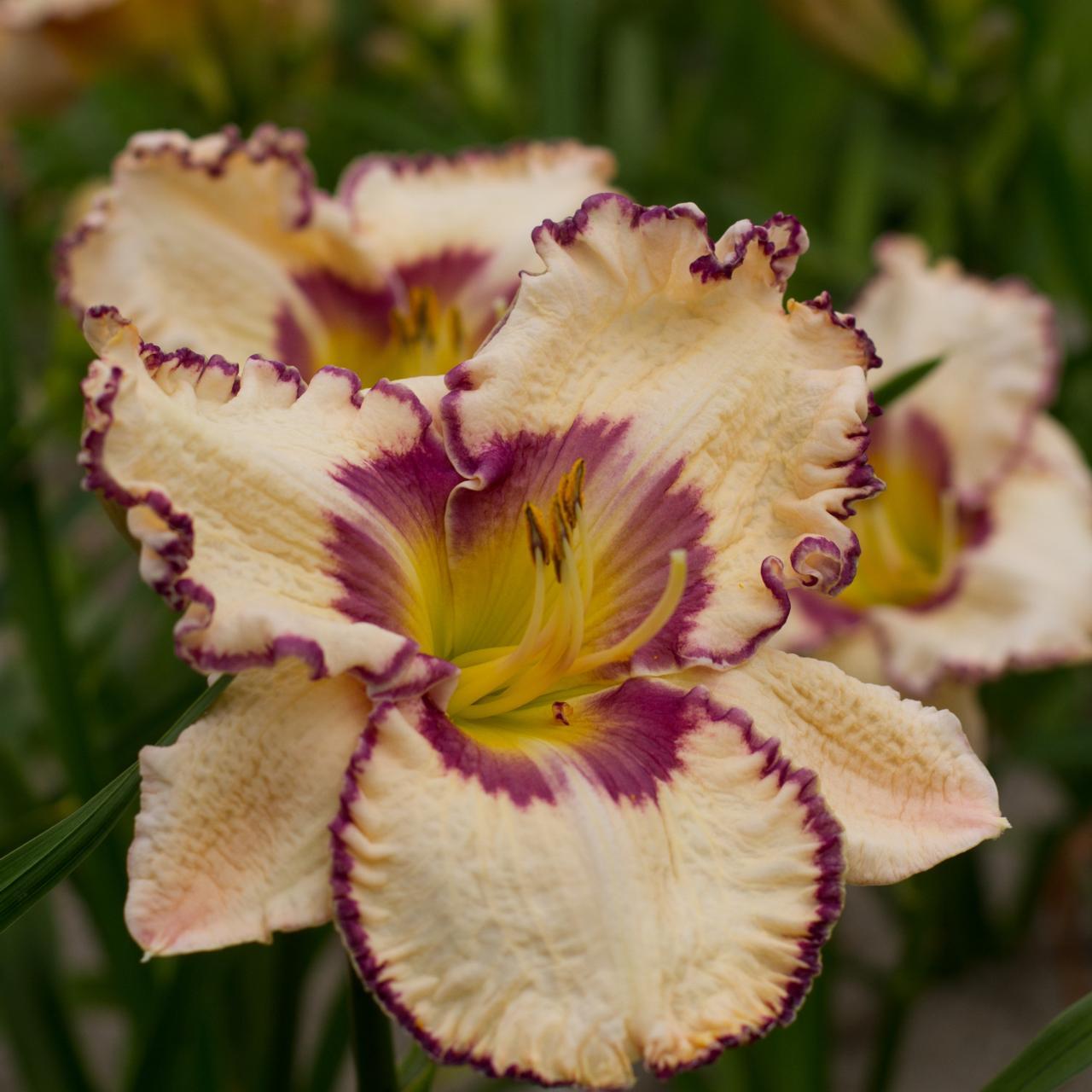 Hemerocallis 'Antique Linen' (34638)