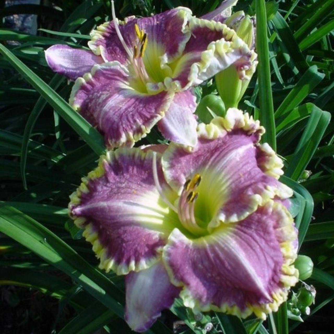 Hemerocallis 'Bestseller' plant