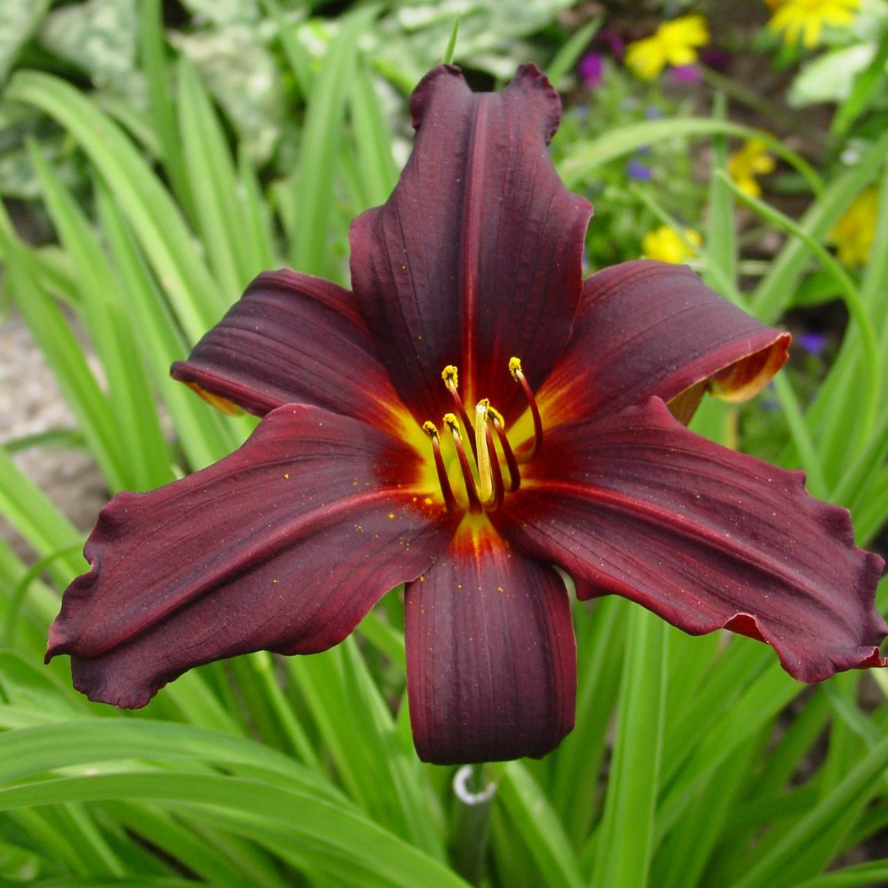 Hemerocallis 'Black Emanuelle' (34425)