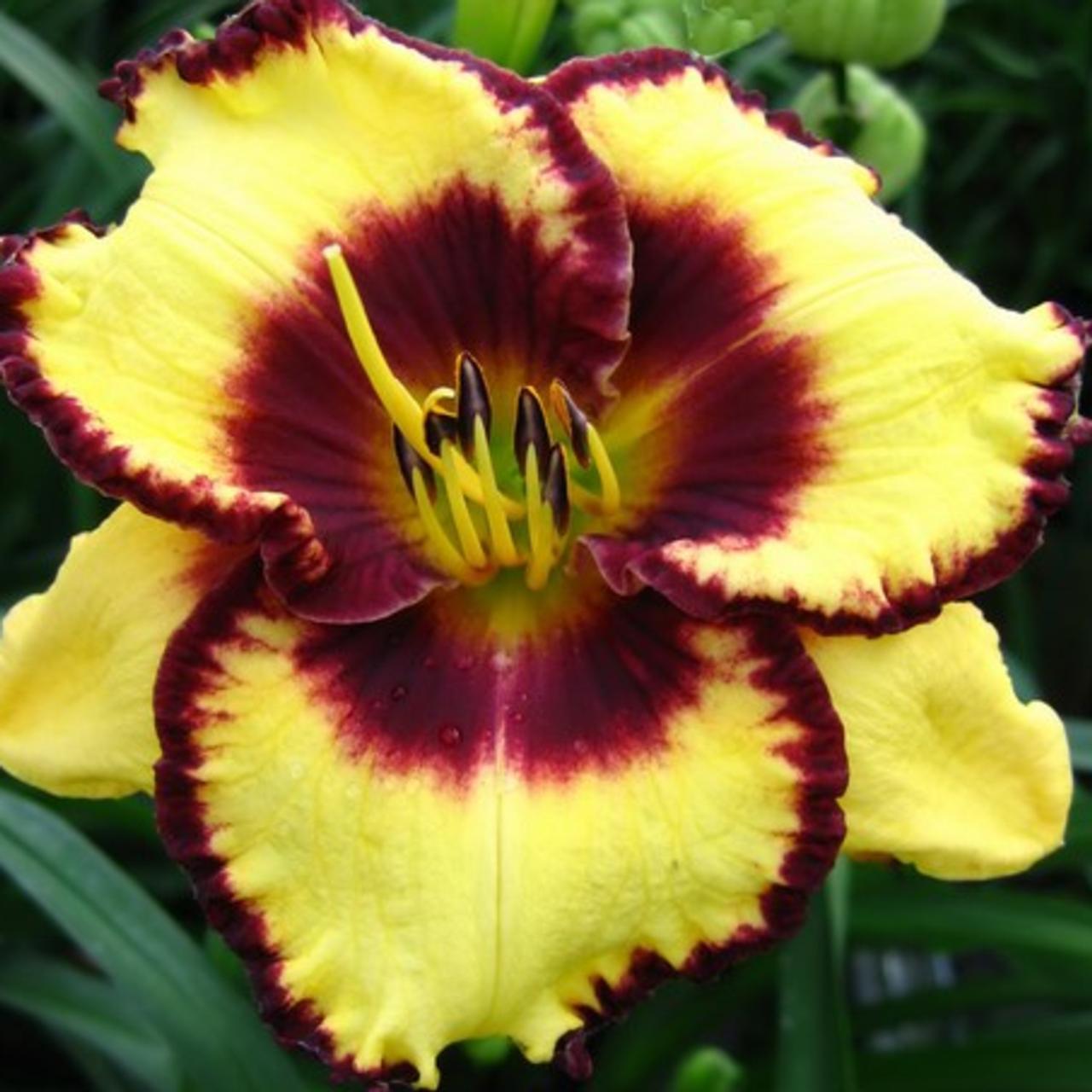 Hemerocallis 'Calico Jack' plant