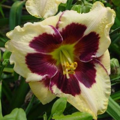 hemerocallis-celibration-of-angels