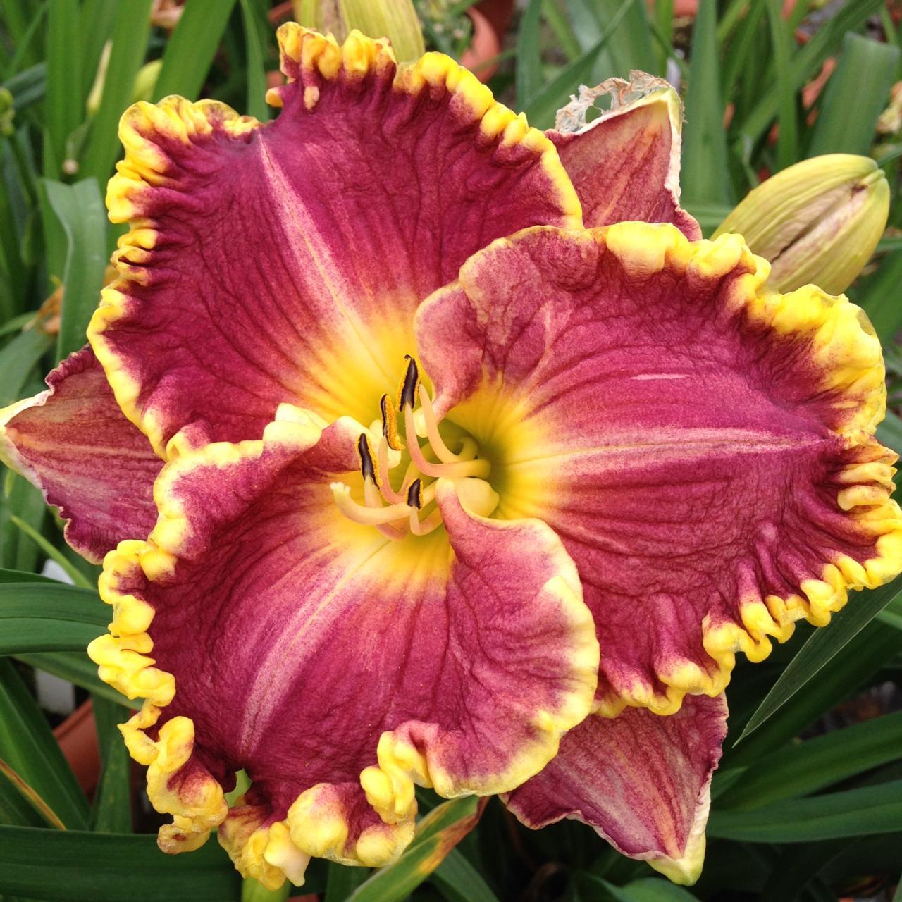 Hemerocallis 'Daria' plant