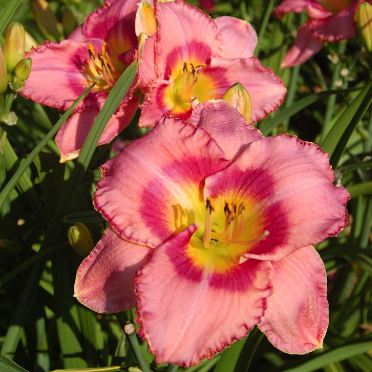 Hemerocallis 'Dress Pink' plant