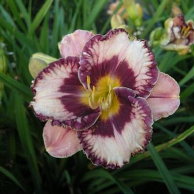 hemerocallis-exotic-treasure
