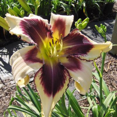 hemerocallis-eyed-twister