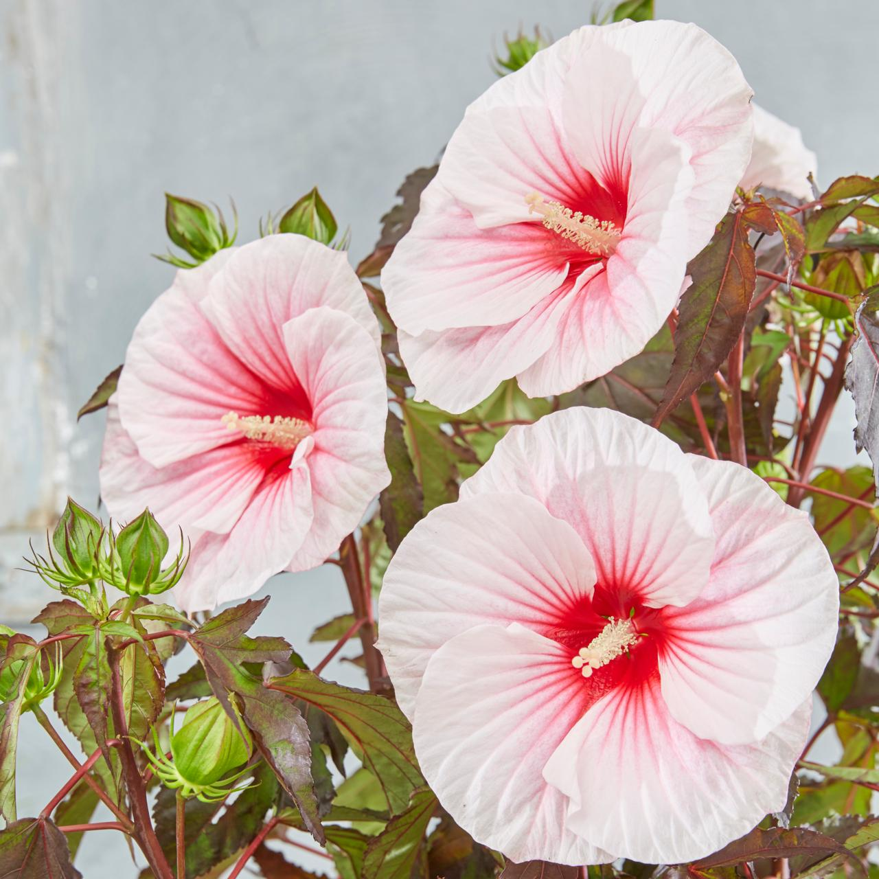 Hibiscus moscheutos 'Carousel Pink Candy' plant