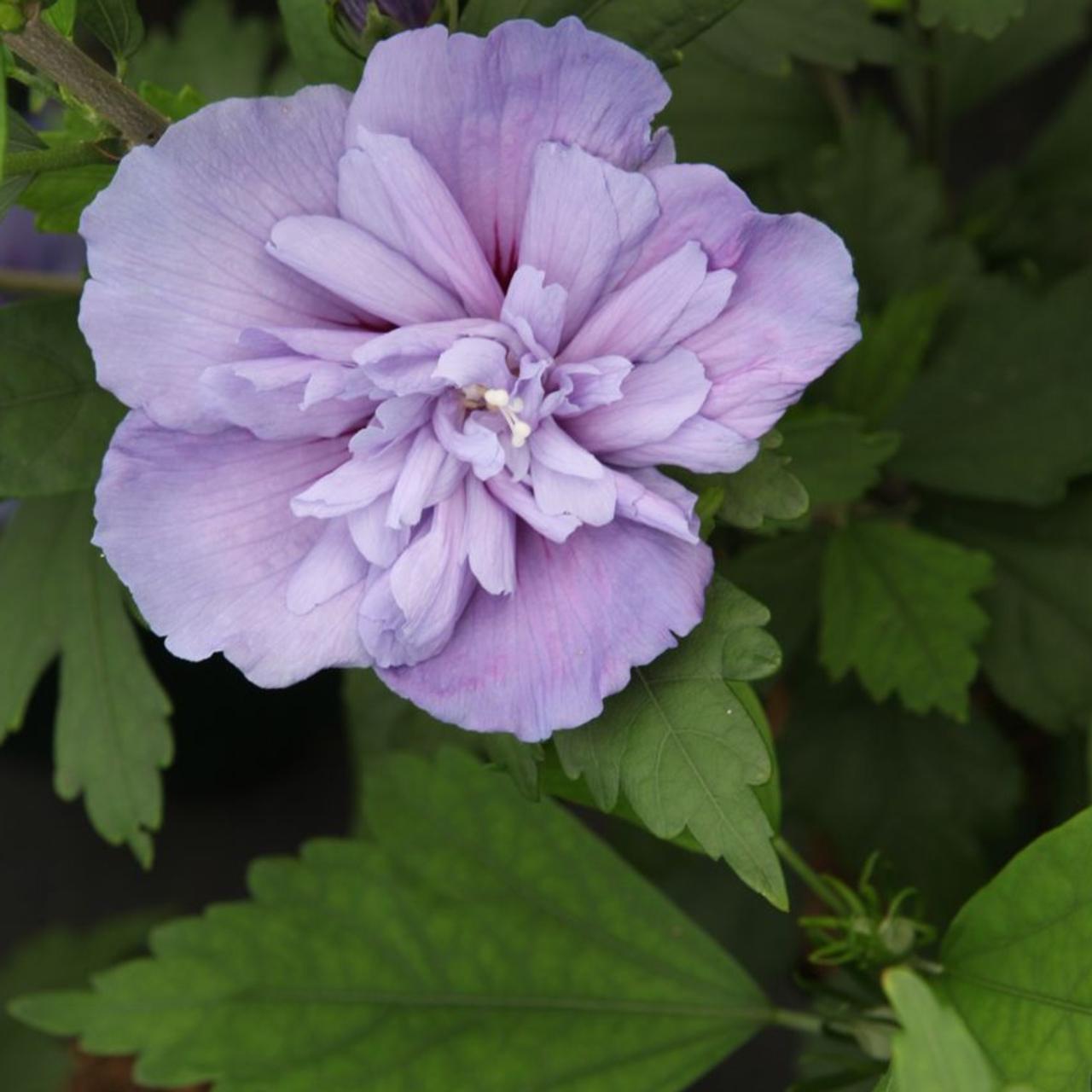 Hibiscus syriacus 'Blue Chiffon' plant