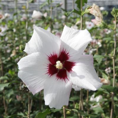 hibiscus-syriacus-shintaeyang