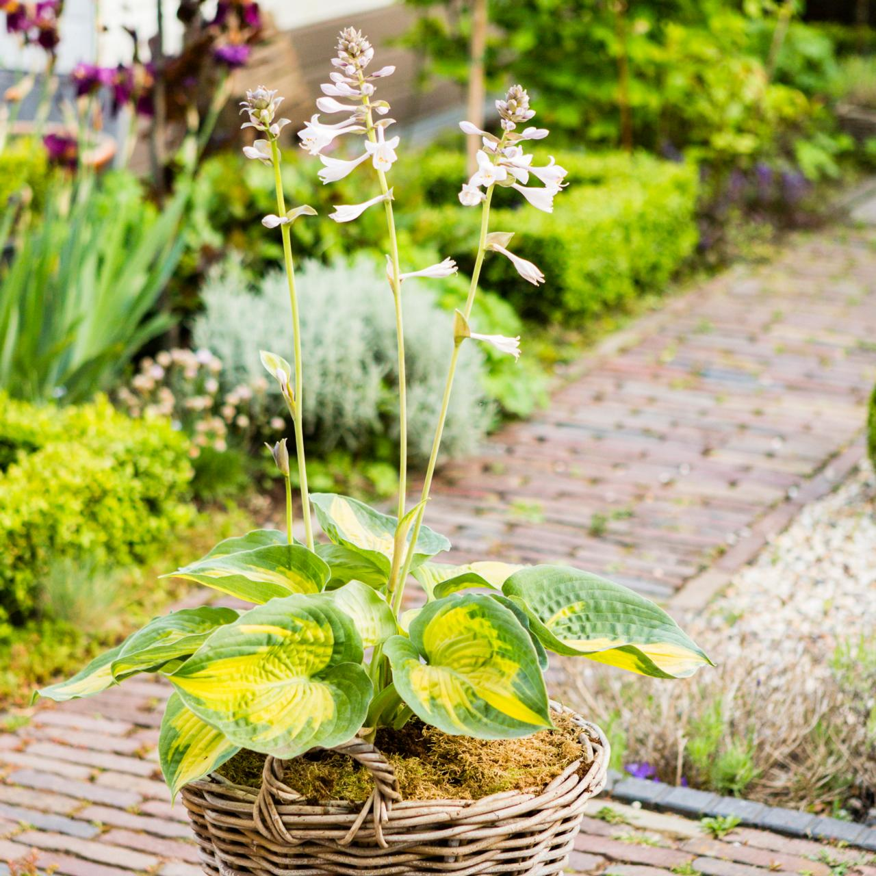 Hosta 'Alligator Alley' plant