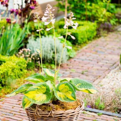 hosta-alligator-alley