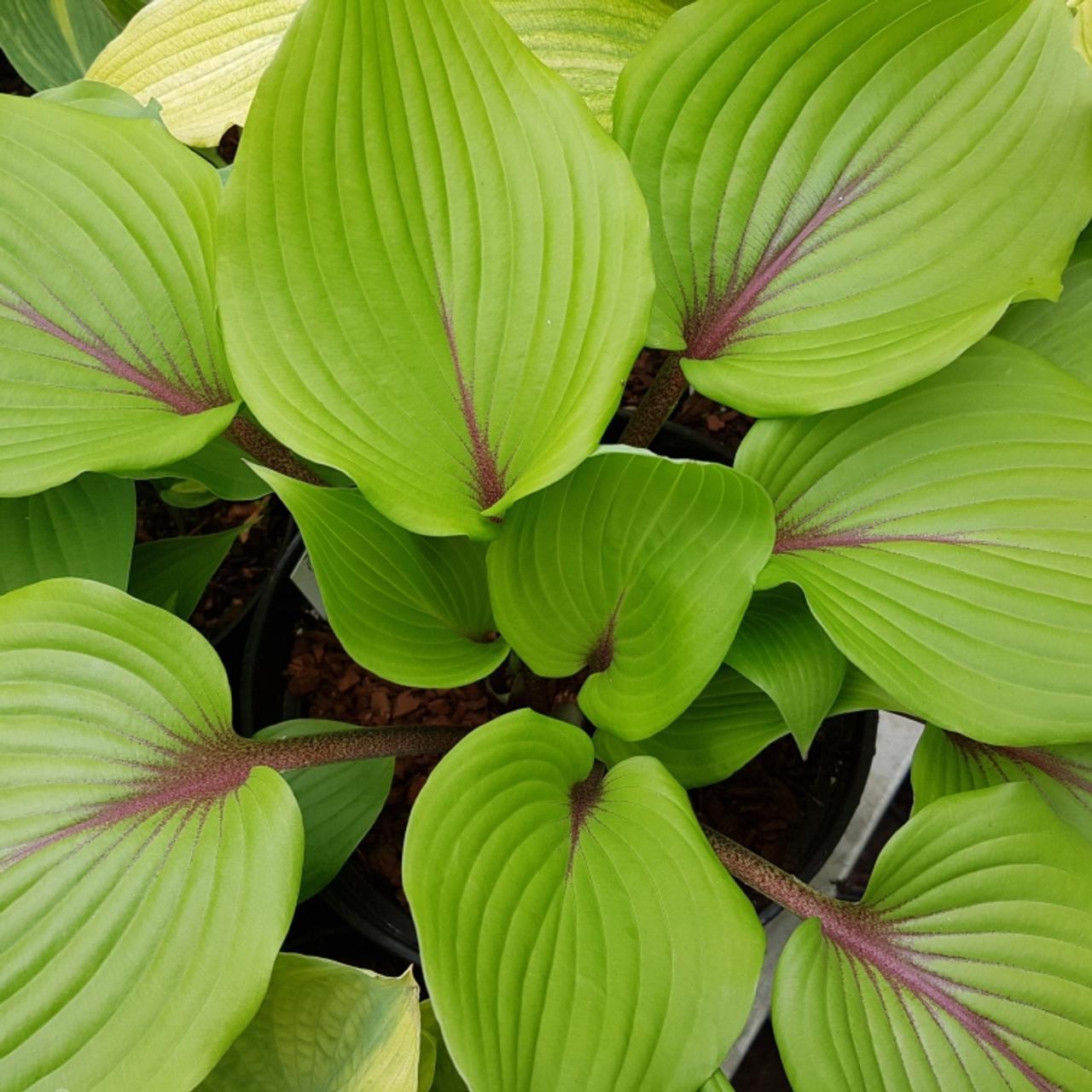 Hosta 'Almost' plant