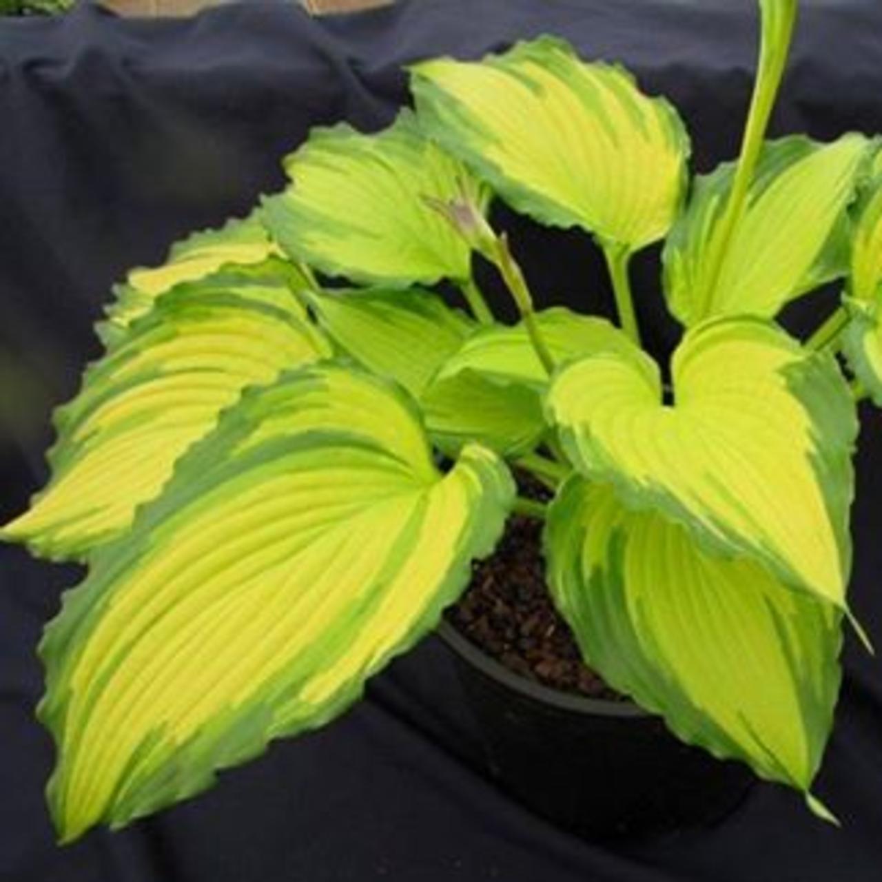 Hosta 'Amalia' plant
