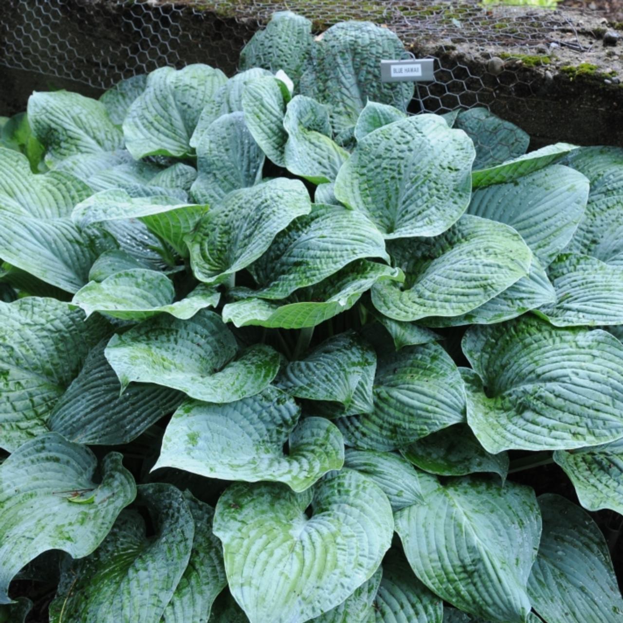 Hosta 'Blue Hawaii' plant