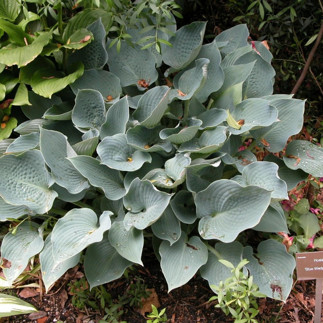 Hosta 'Blue Wedgwood' (25523)