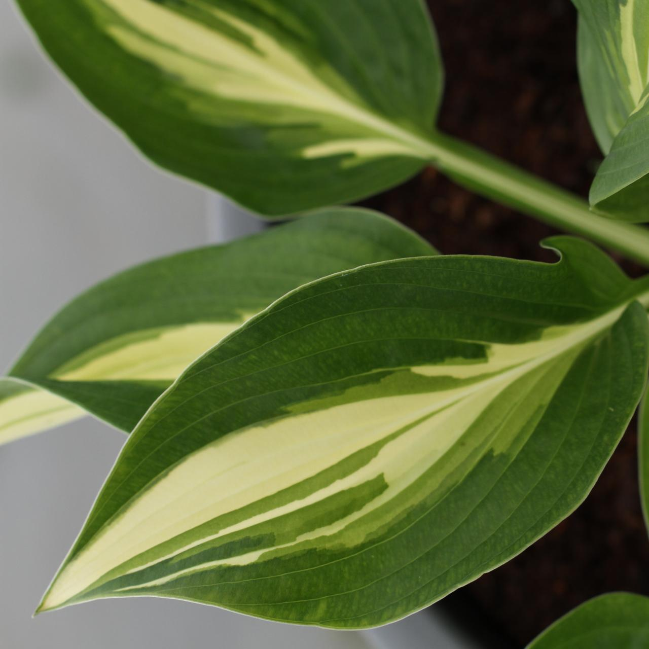 Hosta 'Broad Street' (34244)