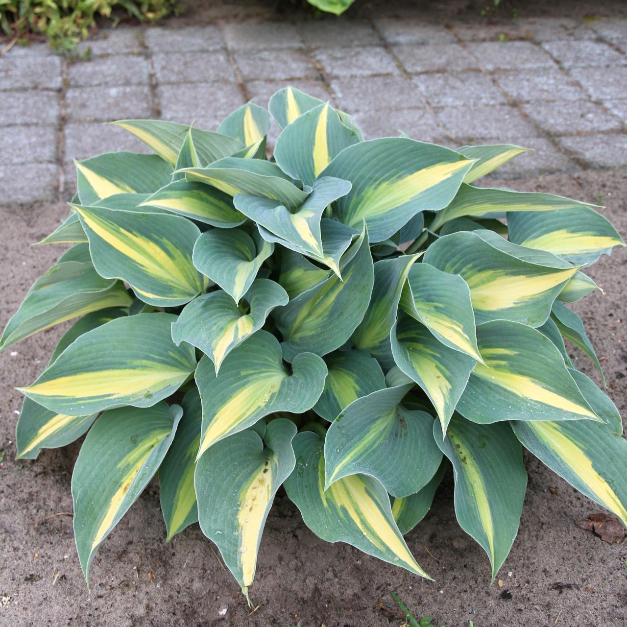 Hosta 'Catherine' plant