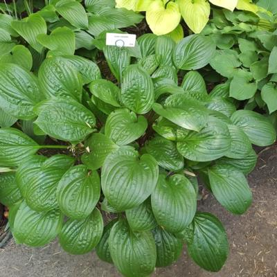 hosta-celtic-uplands